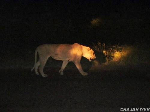 Loneliness of a Lioness